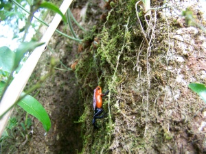 Strawberry Dart-Poison Frog